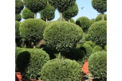 cupressocyparis-leylandii-castlewellan-gold-forme-3-boules